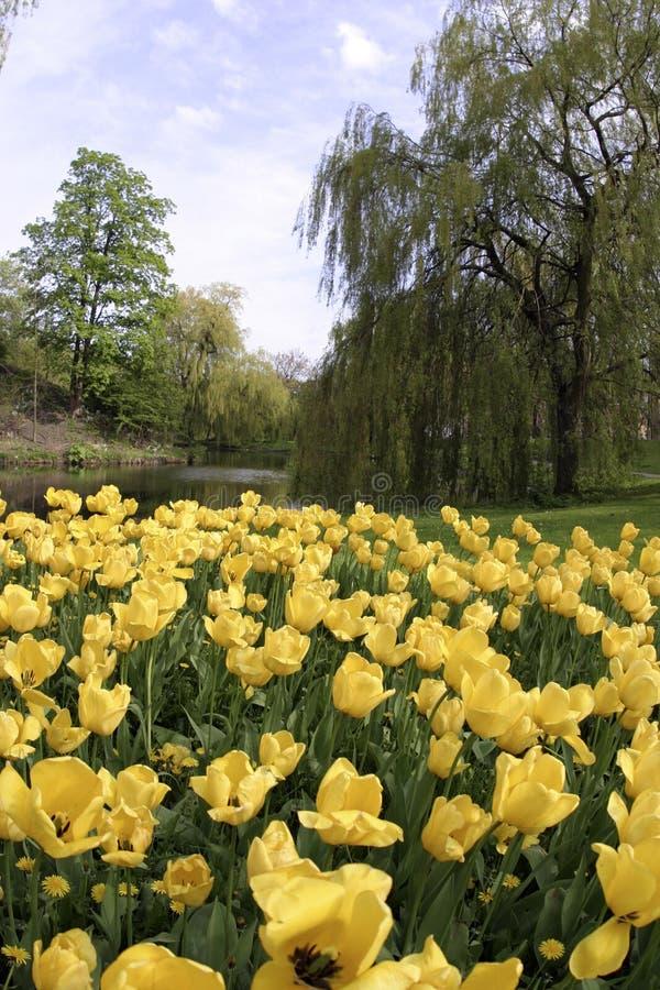 Download желтый цвет тюльпанов стоковое изображение. изображение насчитывающей цветки - 87059