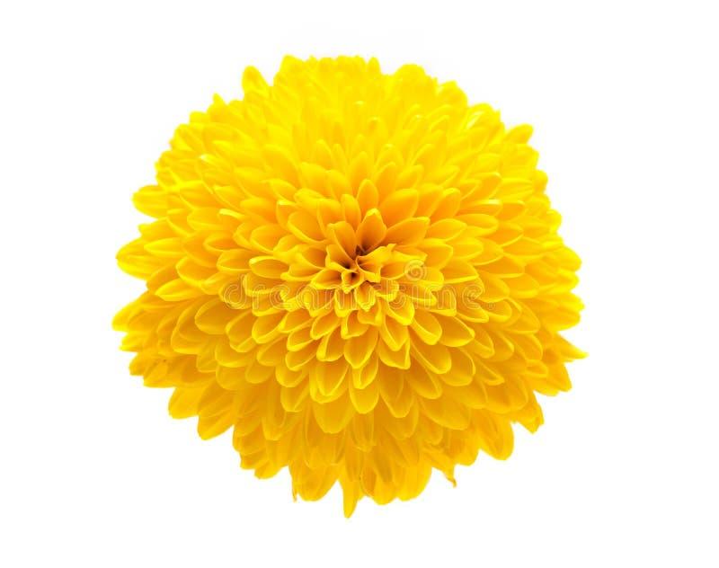 желтый цвет хризантемы стоковая фотография rf
