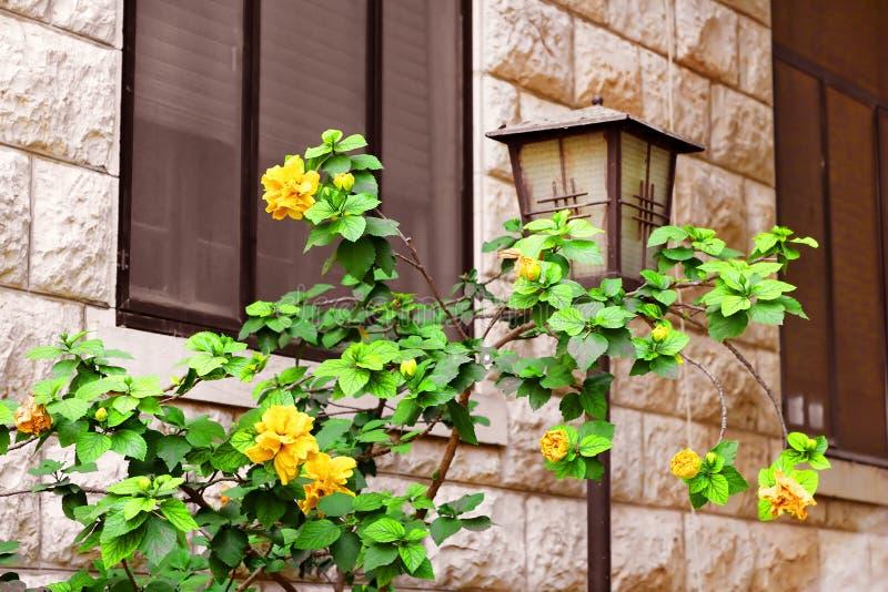 Желтый цвет цветет около старинного здания стоковые фото