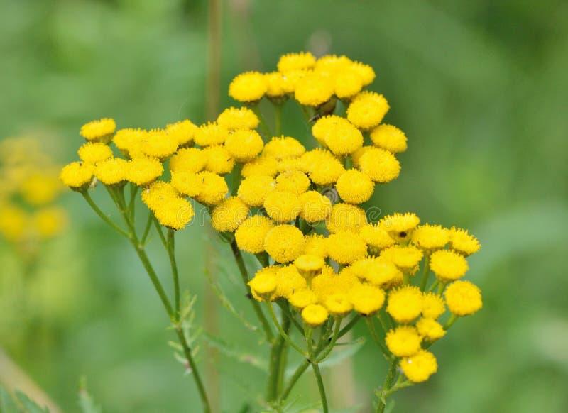 Желтый цвет цветет пижма, макрос стоковые фотографии rf