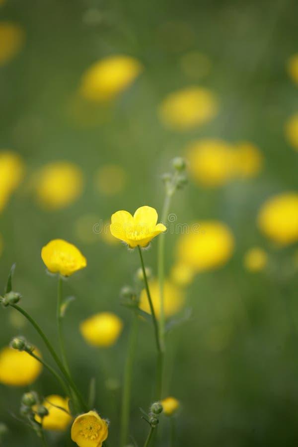 желтый цвет цветка крупного плана стоковая фотография rf