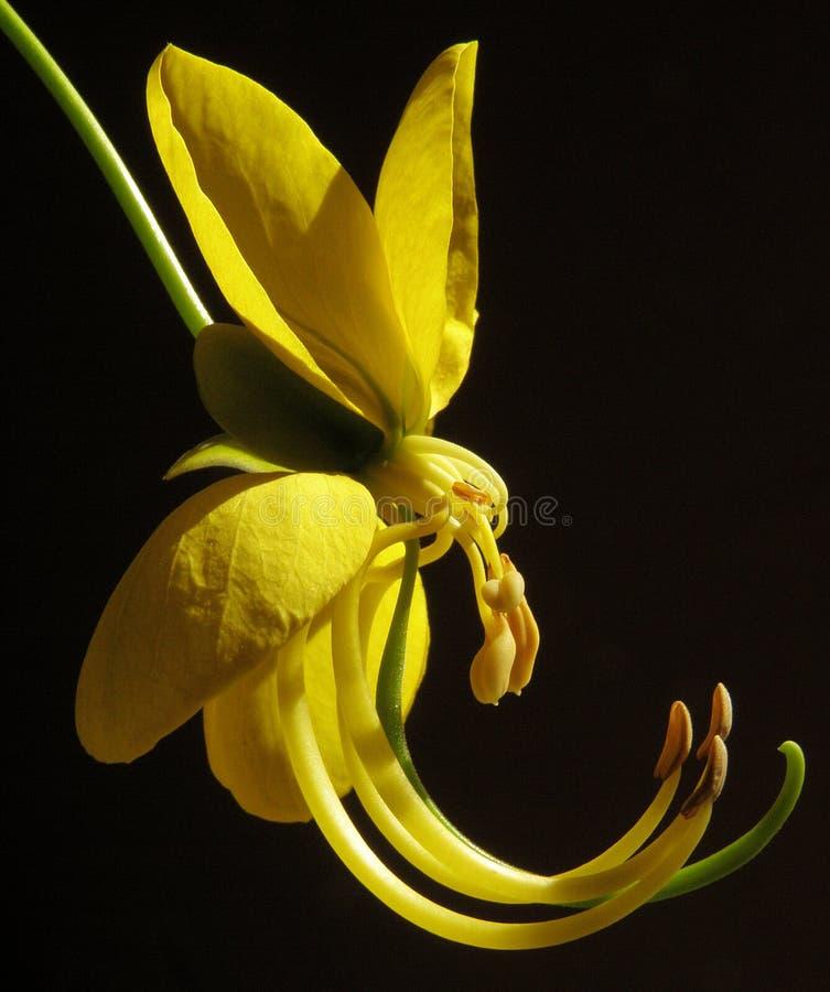 желтый цвет цветка amaltash стоковое изображение
