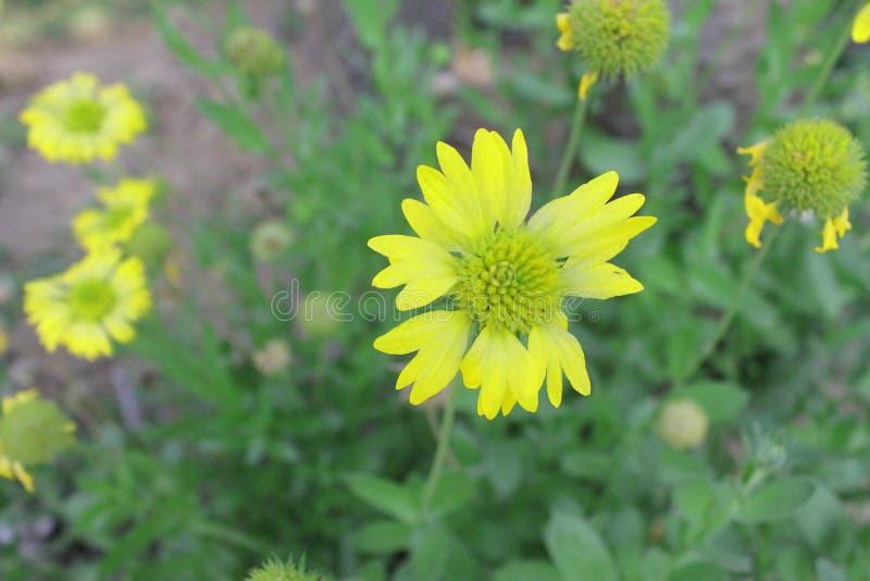 Желтый цвет цветков живущих цветков желтый стоковые фотографии rf