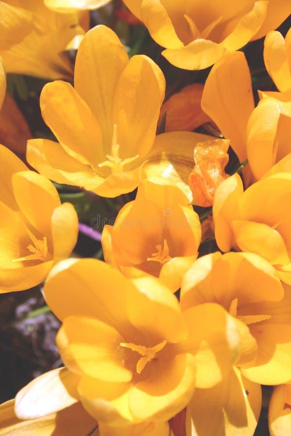 желтый цвет цветков крокусов стоковое изображение
