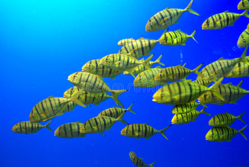 желтый цвет школы рыб стоковое изображение
