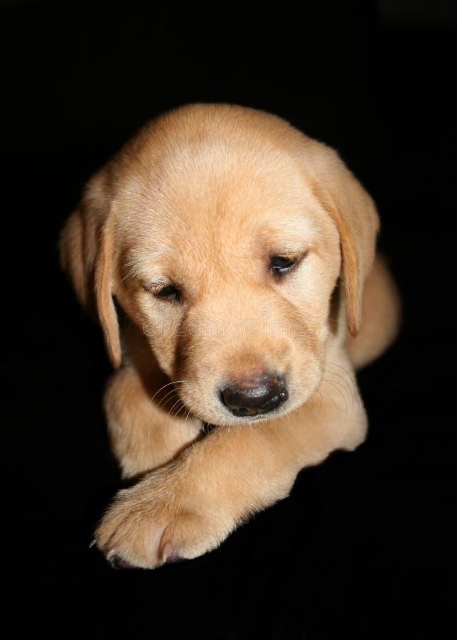 желтый цвет щенка labrador стоковые изображения