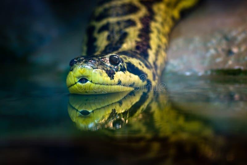 желтый цвет anaconda стоковые изображения