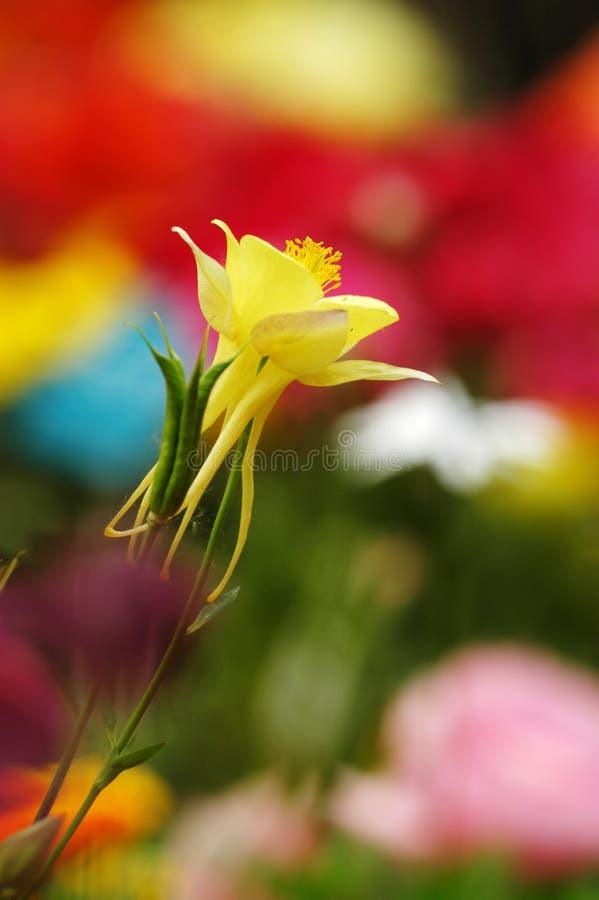 желтый цвет aquilegia стоковые изображения rf