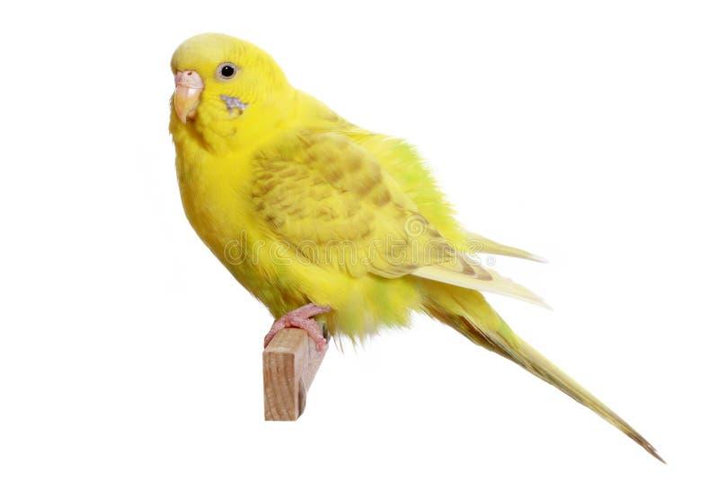 желтый цвет budgerigar ветви стоковая фотография rf
