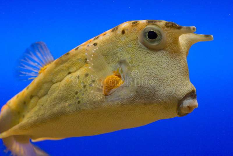 желтый цвет cowfish стоковые изображения