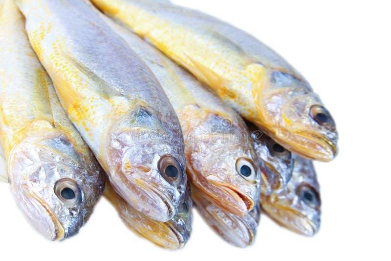 желтый цвет croaker стоковые изображения rf