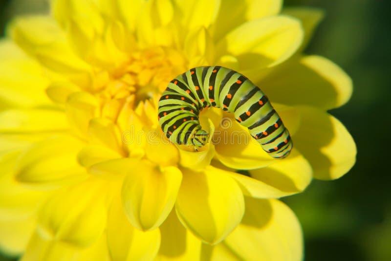 желтый цвет flowe гусеницы стоковое изображение rf