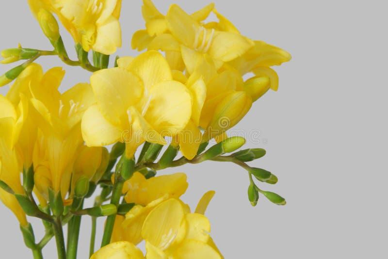 желтый цвет freesias стоковые фотографии rf