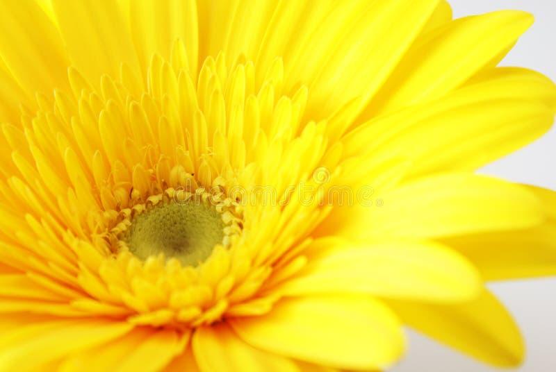 желтый цвет gerber цветка стоковые фото