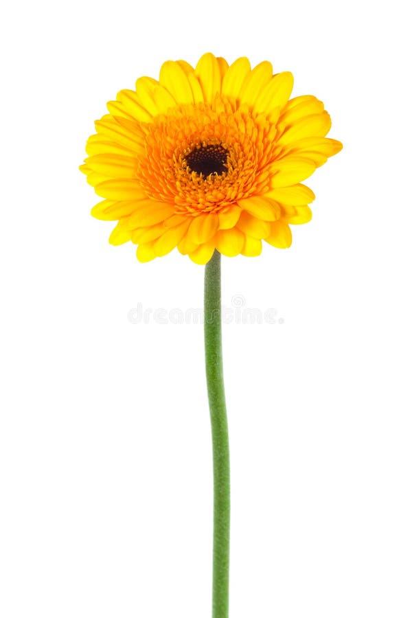 желтый цвет gerber стоковые фото