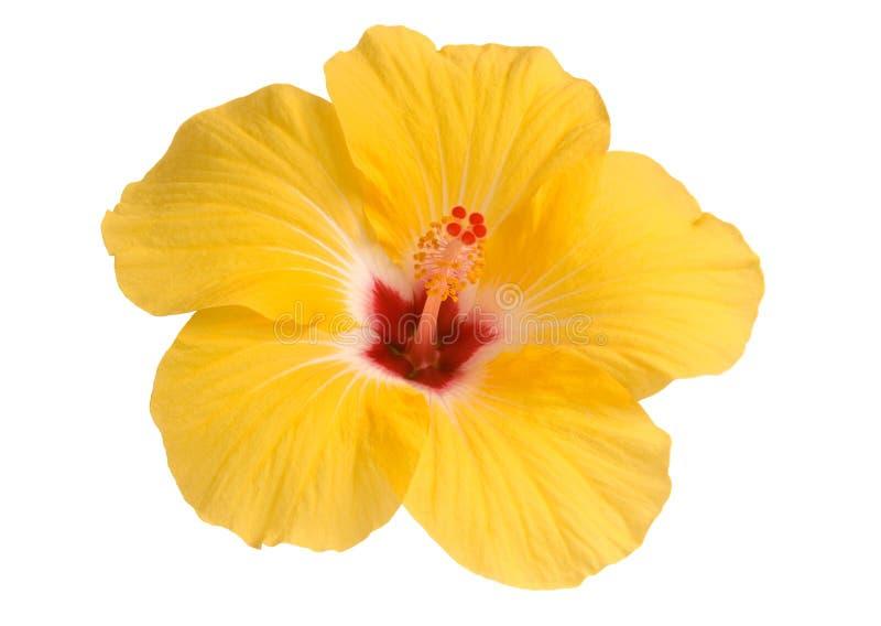 желтый цвет hibiscus стоковые фото