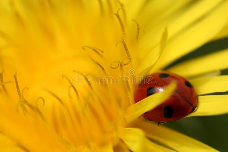 желтый цвет ladybug dandalion крупного плана стоковая фотография rf