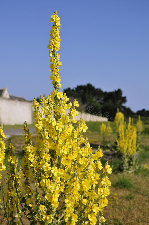 желтый цвет mullein цветка стоковое изображение