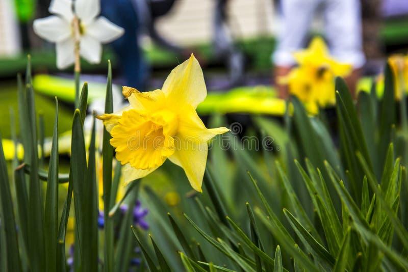Желтый цвет Narcissus в моем саде стоковая фотография rf