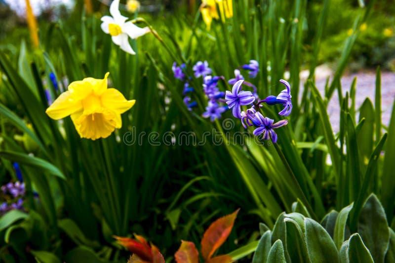 Желтый цвет Narcissus в моем саде стоковые фотографии rf