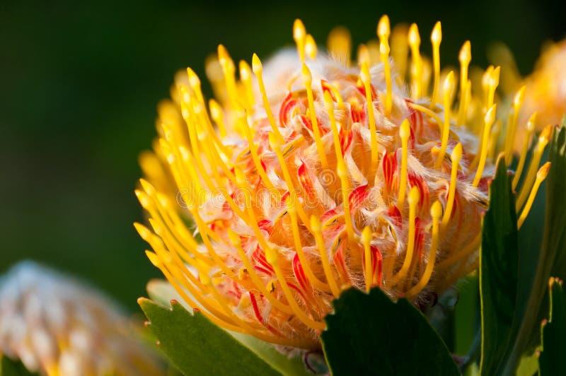 желтый цвет protea pincushion стоковая фотография