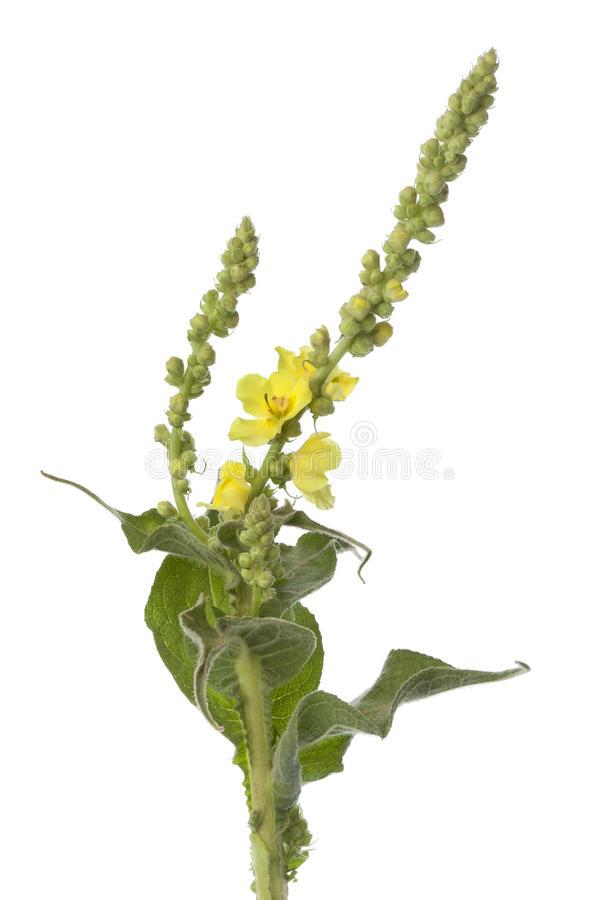 желтый цвет verbascum стоковое изображение rf