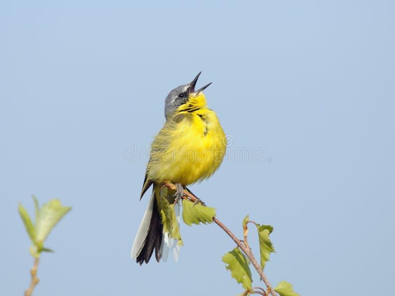 желтый цвет wagtail петь стоковое фото