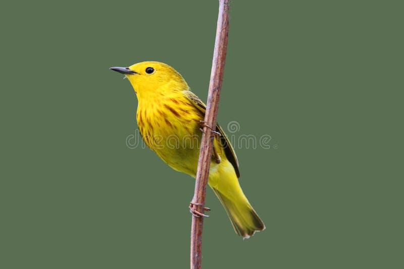 желтый цвет warbler стоковые изображения rf