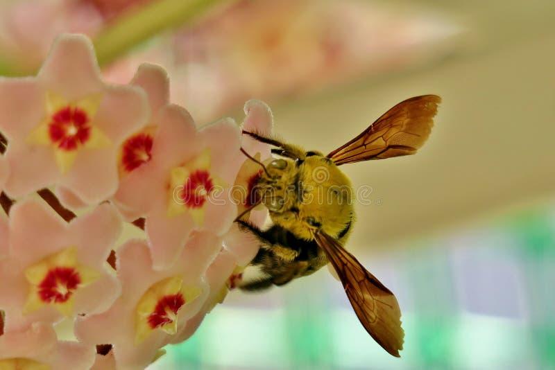 Желтый шмель собирает цветень от небольших розовых цветков стоковые фото