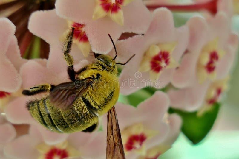Желтый шмель собирает цветень от небольших розовых цветков стоковое фото