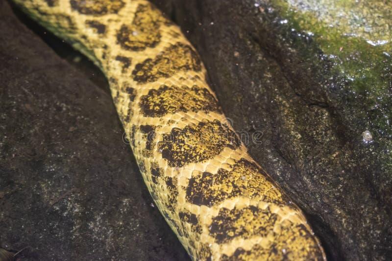 Желтый anaconda ( Notaeus Eunectes стоковые изображения rf