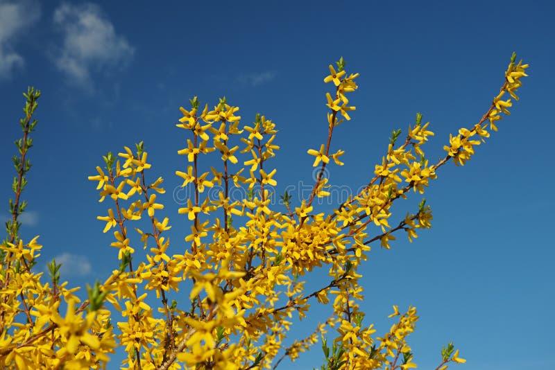 Желтый blossoming forsythia против голубого неба стоковое изображение rf