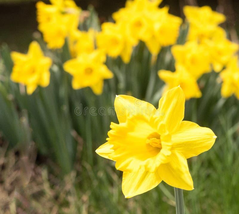 Желтый daffodil в саде daffodils весеннего времени стоковая фотография