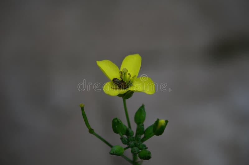 Желтый eruca arugula, ракеты или цветка rucola латинский sativa в семье капусты стоковые фотографии rf