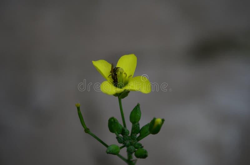 Желтый eruca arugula, ракеты или цветка rucola латинский sativa в семье капусты стоковое изображение rf