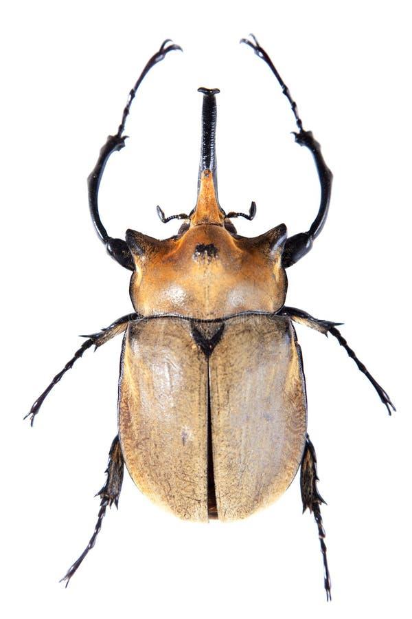 Желтый 5-horned жук на белой предпосылке стоковое фото rf