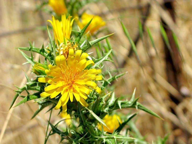 Желтый scolymus, wildflowers на колючем стержне стоковая фотография rf
