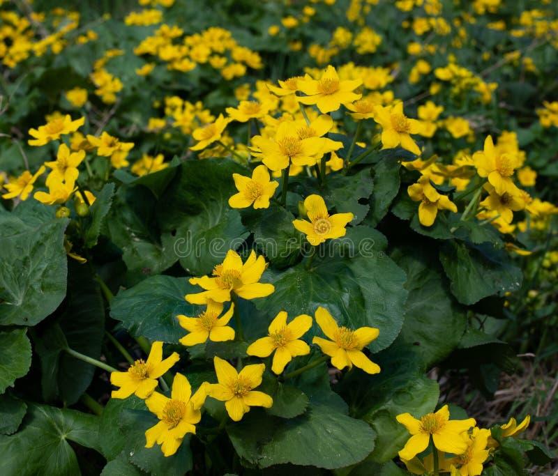 Желтый Wildflower ноготк болота стоковые изображения