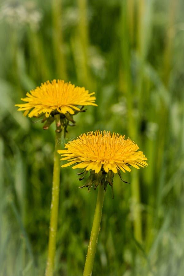2 желтых одуванчика растя зеленая трава стоковые изображения rf