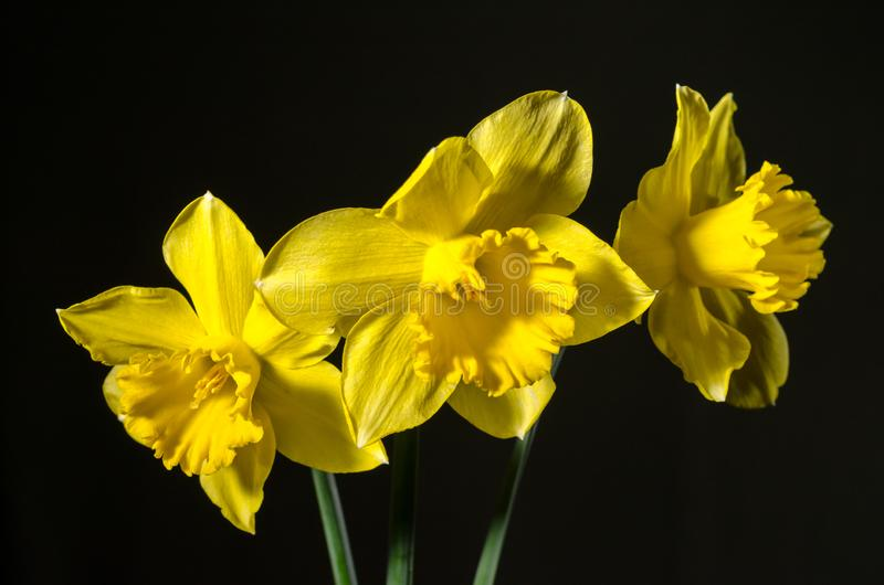 3 желтых daffodils на темной предпосылке стоковые фото