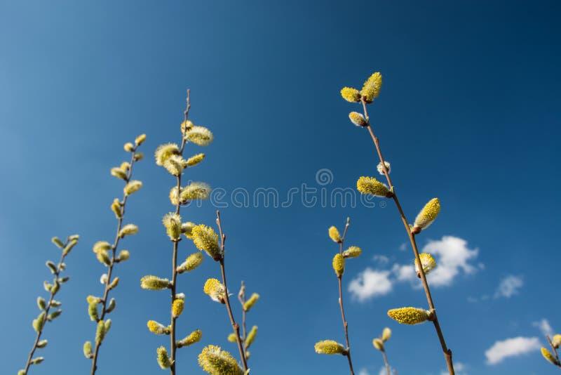 Желт-белые catkins весны на предпосылке голубого неба стоковые фотографии rf