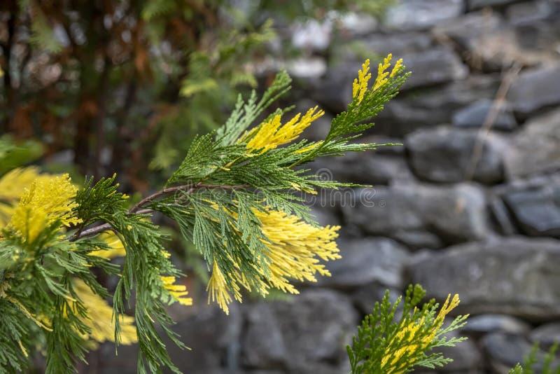 Желт-зеленые sprigs конца-вверх Torulosa Variegata Juniperus chinensis стоковое изображение rf