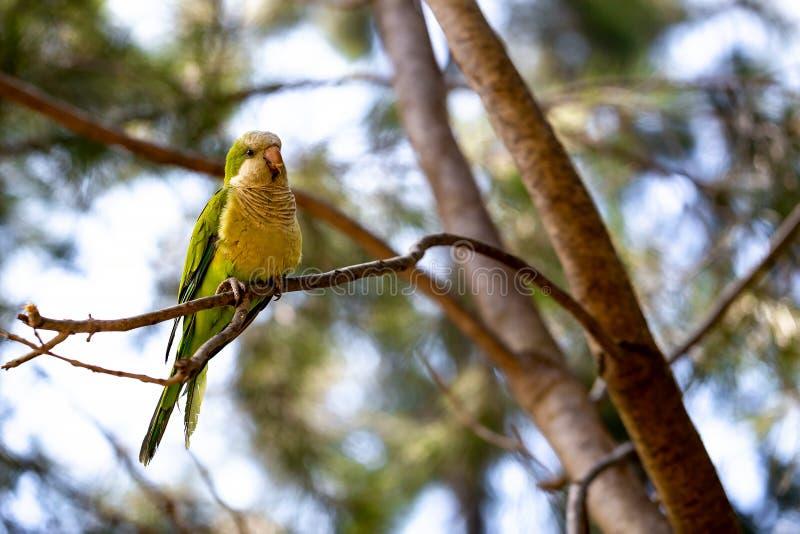Желт-зеленый попугай сидя на ветви сосны стоковое изображение rf