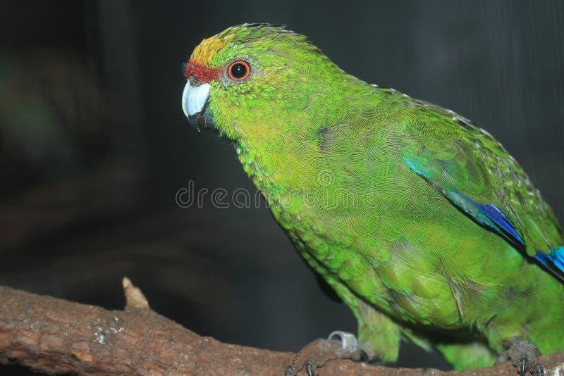 Желт-увенчанный длиннохвостый попугай стоковое изображение