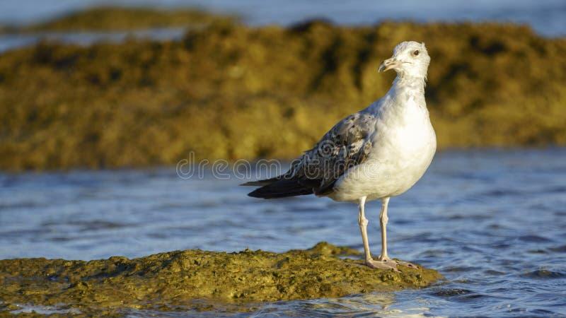 Желт-шагающие michahellis Larus размножения чайки стоковые фотографии rf