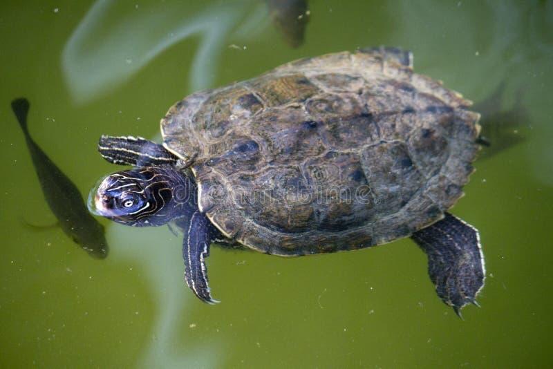 Желт-bellied черепаха слайдера стоковые фотографии rf