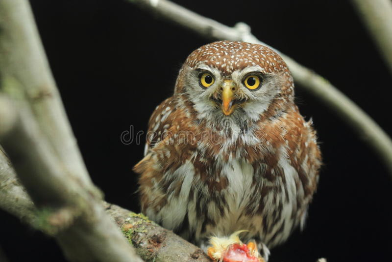 Жемчуг-запятнанный owlet стоковая фотография