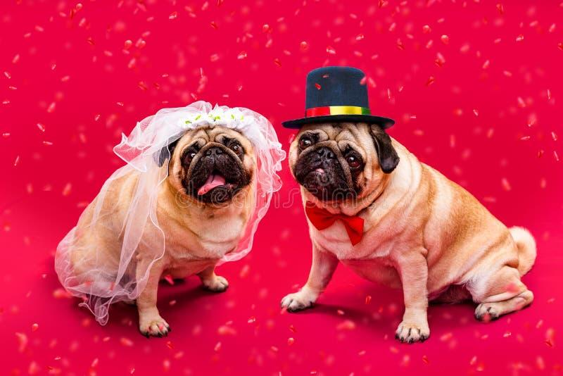 Жених и невеста собаки pugs 2 Свадьба собаки Жених и невеста стоковые фотографии rf