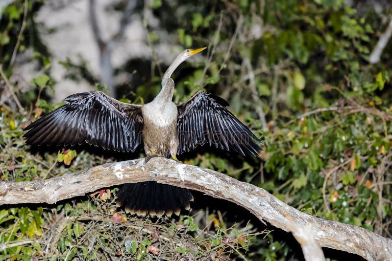 Женская американская змеешейка суша вне при крыла распространенные на ветви стоковые изображения rf