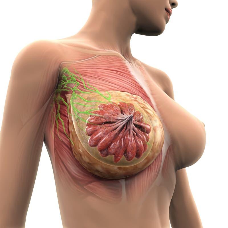 Женская анатомия груди иллюстрация вектора